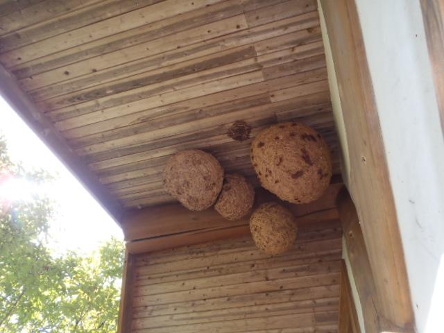 軒下に4個のスズメバチの巣が・・