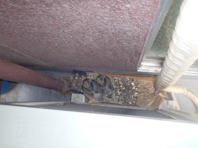 ベランダ室外機裏に営巣したハトの雛