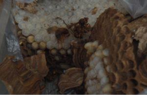 駆除したスズメバチの巣の幼虫